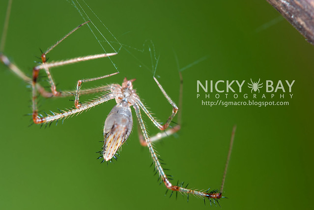 Golden Comb-footed Spider (Chrysso sp.) - DSC_4116