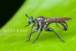 Robberfly (Asilidae) - DSC_2959