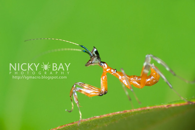 Mantis nymph (Mantodea) - DSC_2839