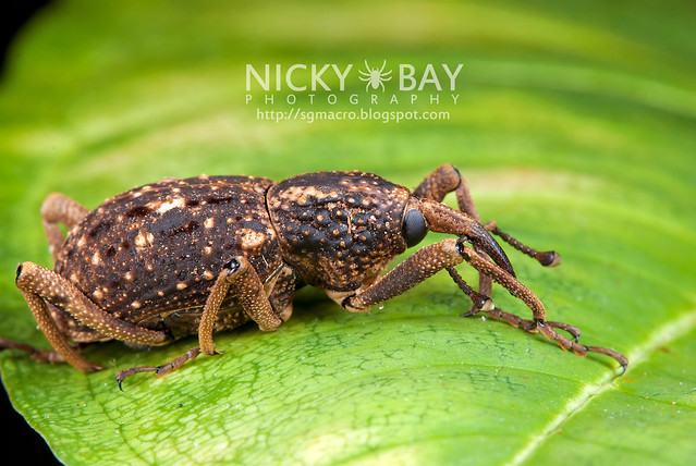 Weevil (Curculionidae) - DSC_2403