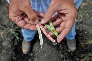 NP Drought Tolerant beans6