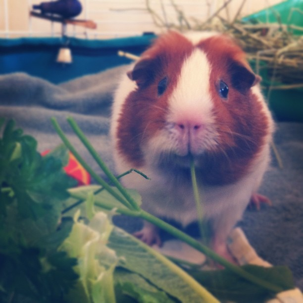 Annabelle really enjoys parsley #guineapig #cavy