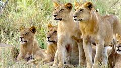 adventure(0.0), animal(1.0), mane(1.0), big cats(1.0), masai lion(1.0), lion(1.0), mammal(1.0), fauna(1.0), savanna(1.0), grassland(1.0), safari(1.0), wildlife(1.0),