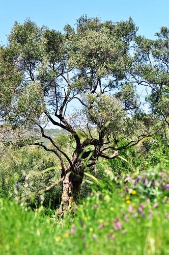 Calypso | The Olive Grove