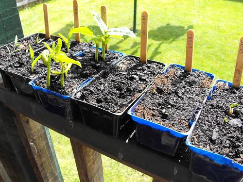 Day 17 - Liam  (tomato, corn, beans, capsicum, sasil, peas)