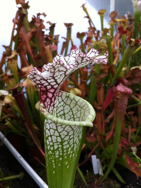 Les peut être dernière photos de leucophylla de 2012 8114679855_38213252fe_c