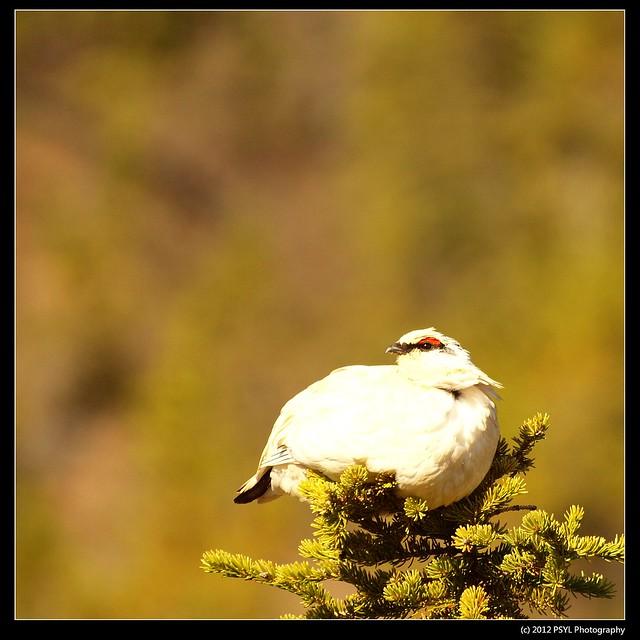 Rock Ptarmigan (Lagopus muta) - winter plumage