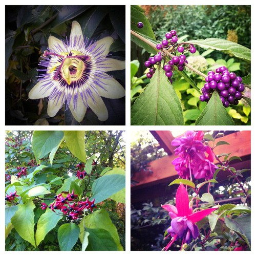 Blooms and berries in the late October garden. So much color. Grateful.