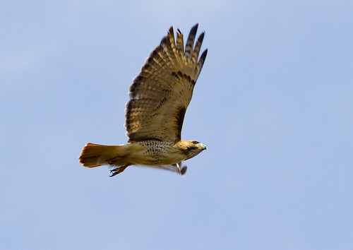 Red-Tailed Hawk doing a Flyby at Speed by Ricky L. Jones Photography