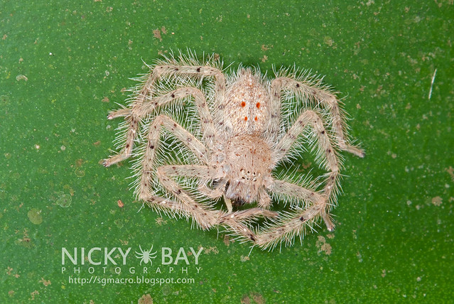 Huntsman Spider (Sparassidae) - ESC_0020