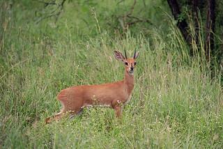 A7-33 Steenbok