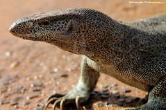 animal, reptile, komodo dragon, fauna, close-up, scaled reptile, wildlife,