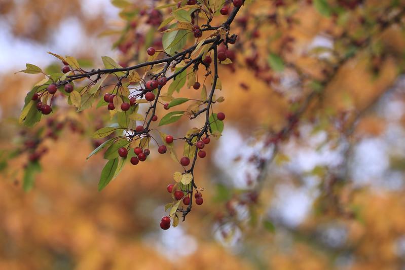 hawthorne autumn2