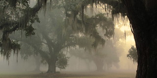 Fog in the Oaks