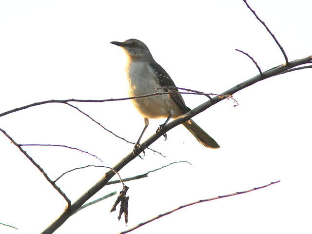 Northern Mockingbird 20130128