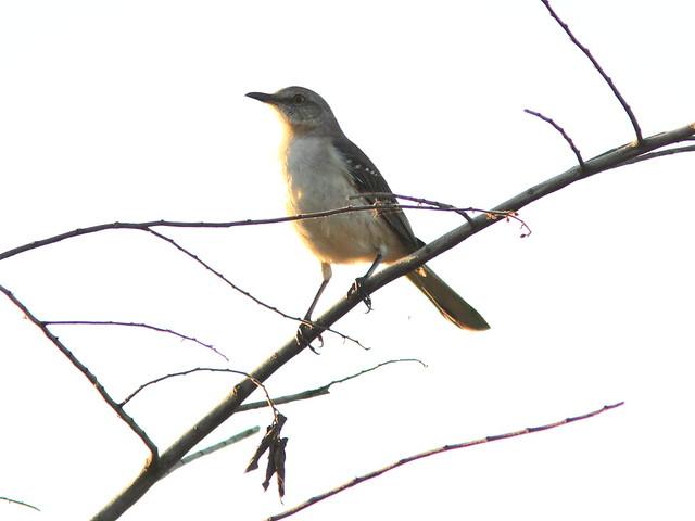Northern Mockingbird 20130128