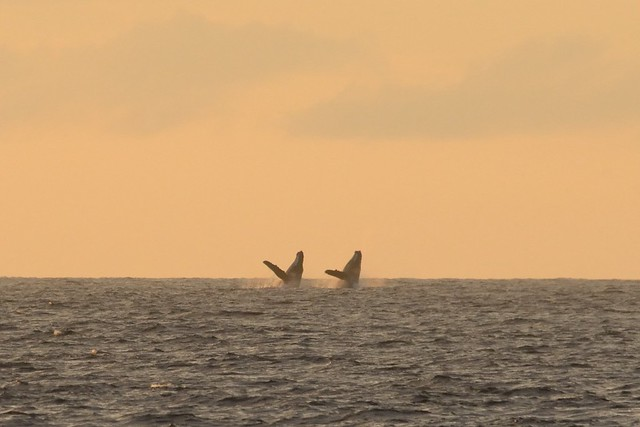 Synchronized (whale) swimming