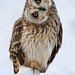DH30 - Short-eared Owl_Snow by Steve Gifford - IN