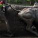 Bull race,West Bengal,India.DSC_2983 by subirbasak