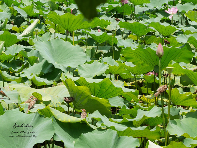台北一日遊景點推薦植物園荷花蓮花池 (26)