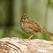 Bruant chanteur juvénile - Song sparrow by Nick288