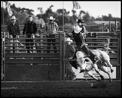 bull_rider_1