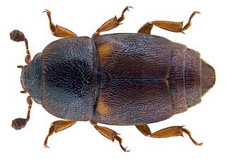Urophorus humeralis (Fabricius, 1798)