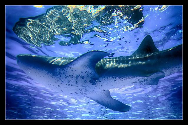Yokohama J - Hakkeijima Sea Paradise - Aqua Museum - Walhai - Rhincodon typus 06