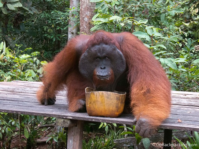 Got Milk? Tom, an alpha male orangutan, slurps up vitamin-enriched milk at a park feeding.