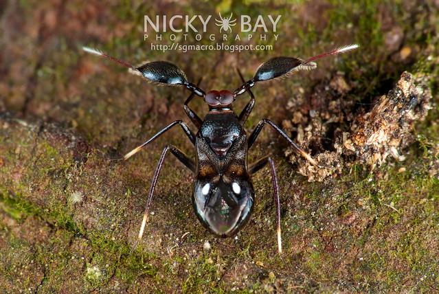 Mirid Bug (Sophianus sp.?) - DSC_8759