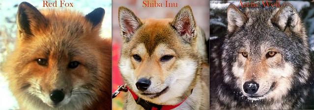 Shiba Inu Wild genes