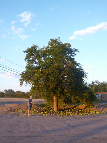 Tennisbal tree