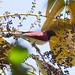 Small photo of Violet-backed Starling (Cinnyricinclus leucogaster)