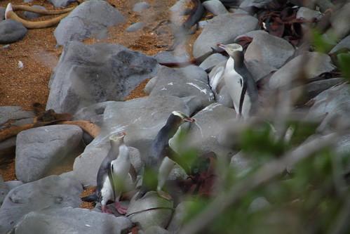 黃眼企鵝 (Yellow-eyed Penguin) @ Katiki Point
