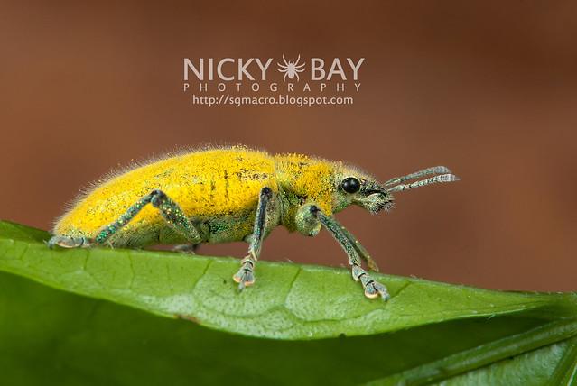True Weevil (Curculionidae) - DSC_6203