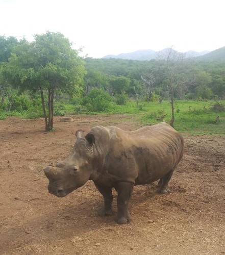 White Rhino in Thanda Nani, South Africa by Mostraum