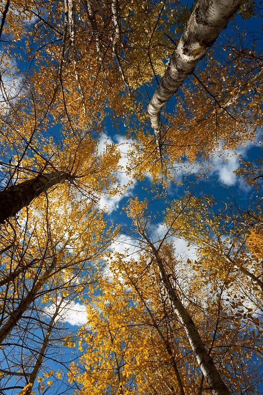 Cottonwoods,-Bitterroot-River-Montana