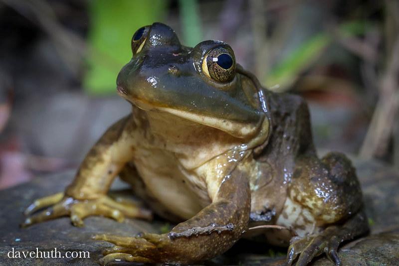 American Bullfrog (Rana catesbeiana), female