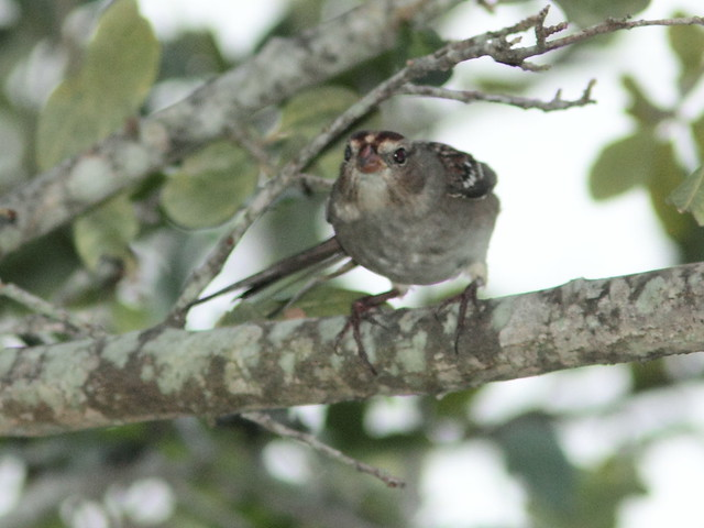White-crowned_Sparrow Zonotrichia_leucophrys 3-20121018