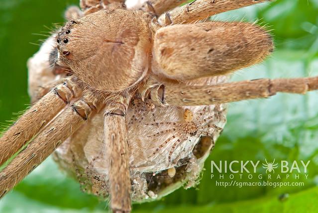 Huntsman Spider (Sparassidae) - DSC_4657