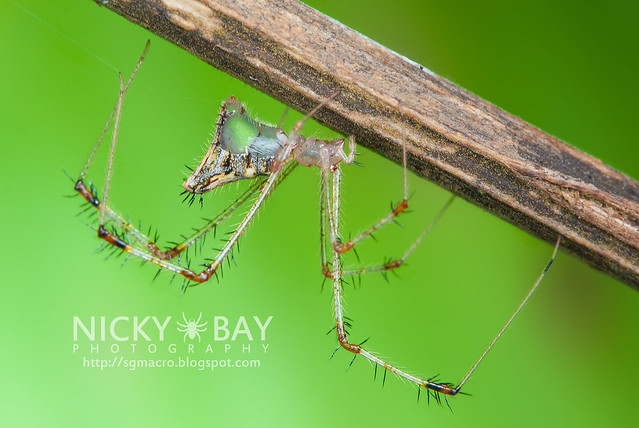 Golden Comb-footed Spider (Chrysso sp.) - DSC_4124