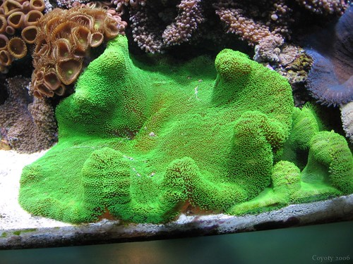 Green coral by Coyoty