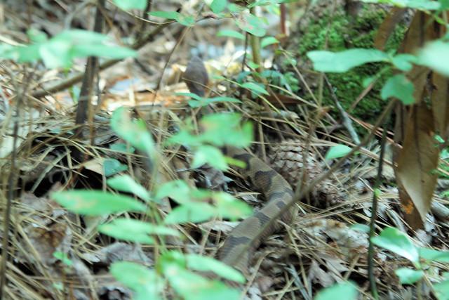 Photo from Pete's Copperhead encounter at First Landing State Park