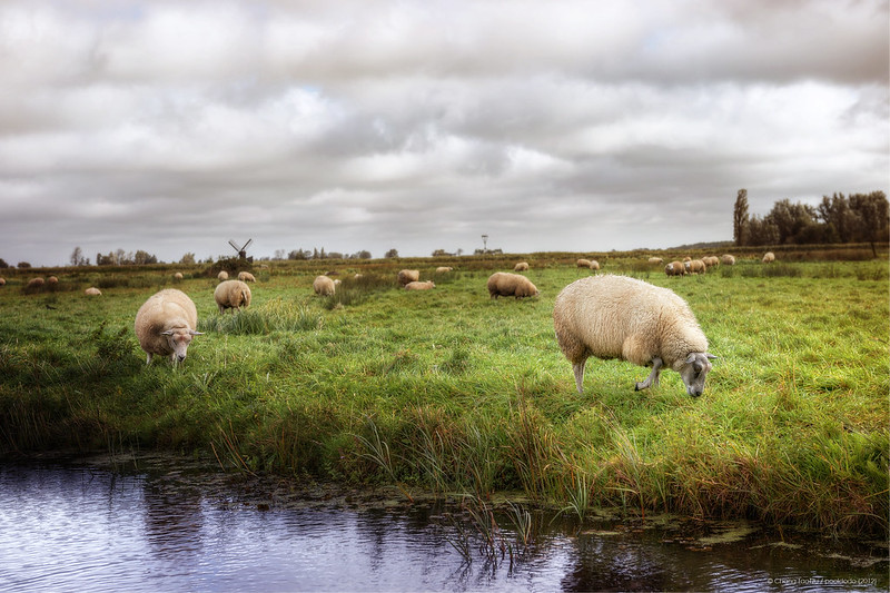 [animals] sheep