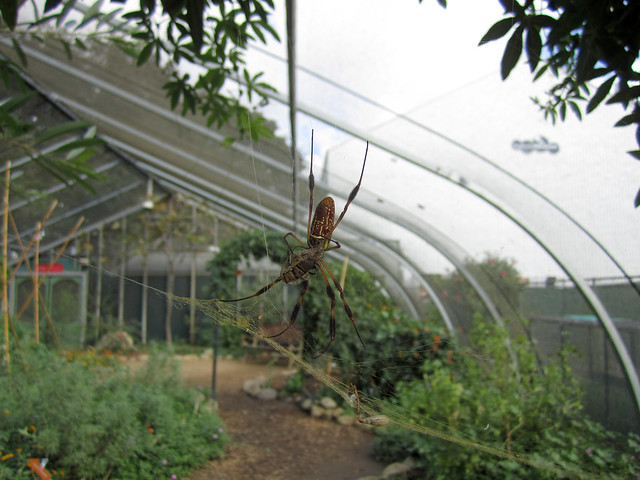 102212 - Natural History Museum Spider Pavilion. Golden silk orb weaver.