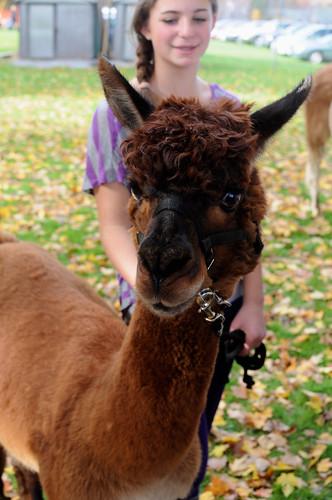 hello alpaca!