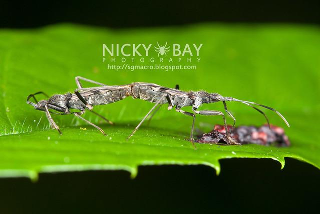 Squash Bug? (Coreidae) - DSC_1331