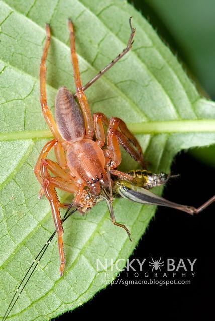 Huntsman Spider (Sparassidae) - DSC_1023