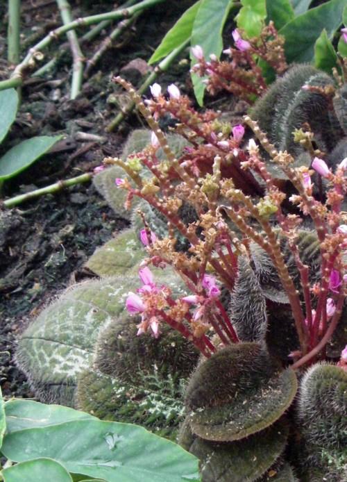 Bertolonia maculata 8118034941_6dfe218da3_o