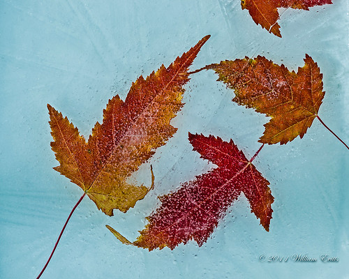 autumn canada cold fall ice leaves frozen maple mapleleaves